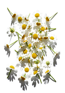 Camomile ingredient